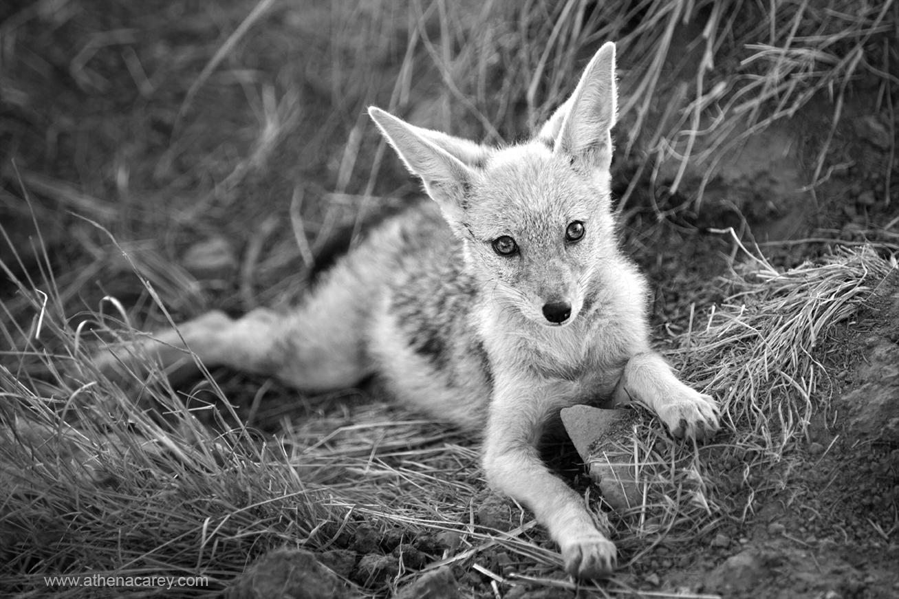 Baby african jackal